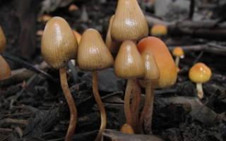 Как правильно есть грибы псилоцибы