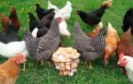 Как правильно выбрать курицу несушку