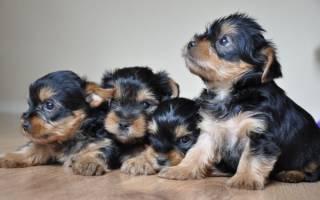 Как правильно выбрать щенка йоркширского терьера