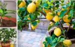 Домашний лимон как правильно