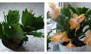 Как правильно называется цветок декабрист